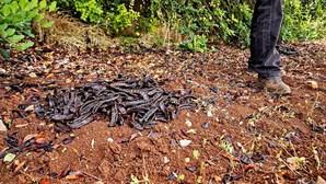 GNR identifica suspeito de furto de 130 quilos de alfarroba em Vilamoura