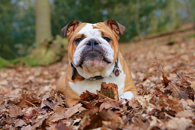 Cão de raça Buldogue Inglês