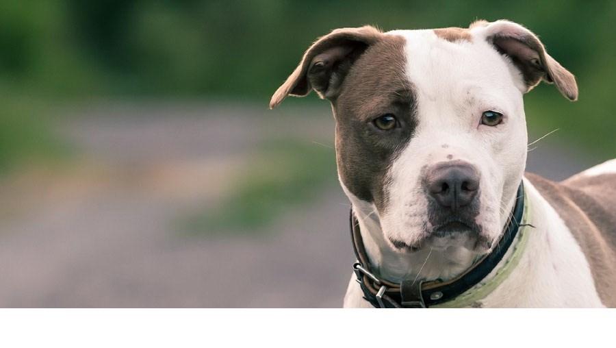 Cão da raça Pitbull - imagem representativa