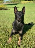 Cigo, o cão-polícia