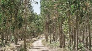 Governo limita eucaliptos em Portugal