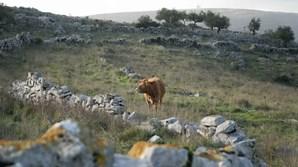 Pela serra de Aire e Candeeiros, em Porto de Mós ainda há quem crie animais entre os montes