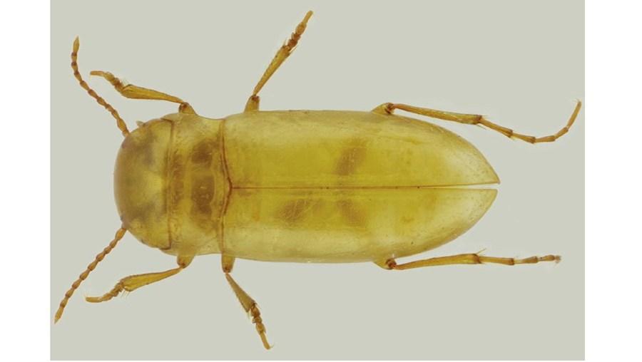 Escaravelho subterrâneo encontrado pela primeira vez em Portugal na serra do Sicó