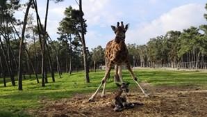 Badoca Park mostra o nascimento de girafa