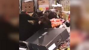 Vacas selvagens fazem banquete nos frescos de supermercado