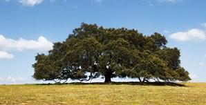 Azinheira Secular portuguesa candidata a Árvore Europeia do Ano