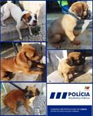 PSP resgata sete cães de casa imunda em Lisboa