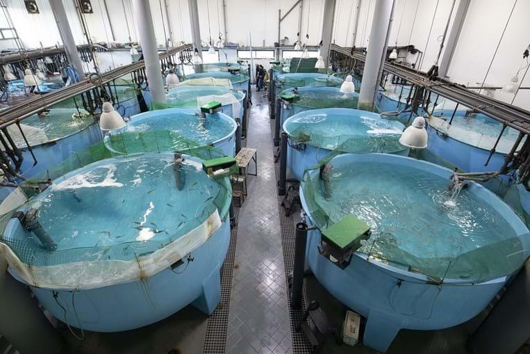 Estação piloto de piscicultura de Olhão cria sardinhas em cativeiro