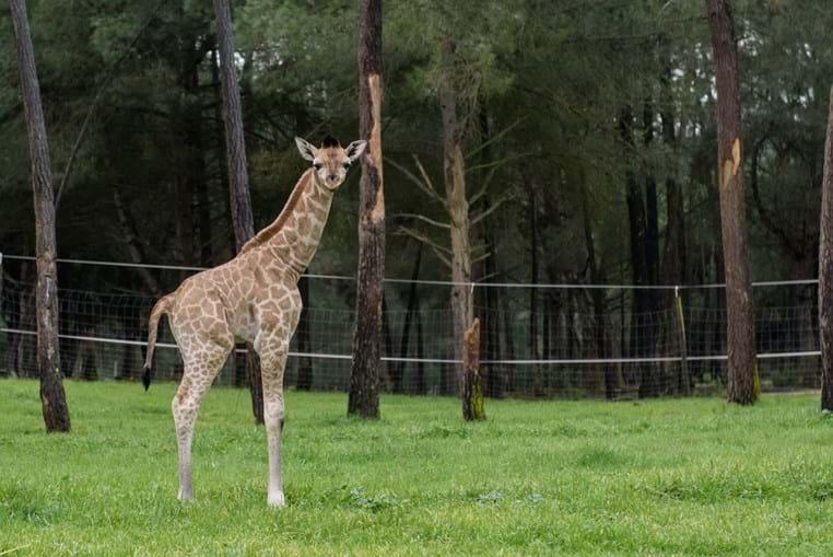 Nova cria de girafa nasceu no Badoca Park, em Santiago do Cacém