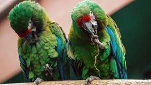 """Como conseguem papagaios falar como os humanos? Com """"arrotos"""""""