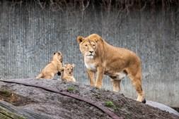 Leoa e as suas crias