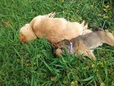 Cães morreram envenenados em Oliveira do Hospital
