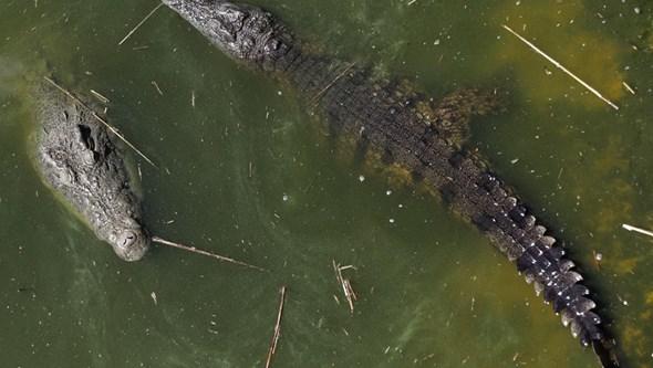 Crocodilos matam sete pessoas desde janeiro em distrito ribeirinho de Moçambique