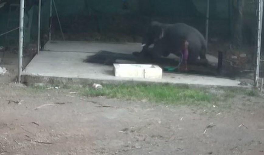 Tratador de elefantes morre após animal lhe cair em cima