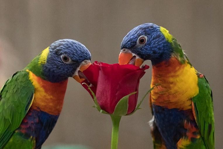 Como conseguem papagaios falar como os humanos? Com 'arrotos'
