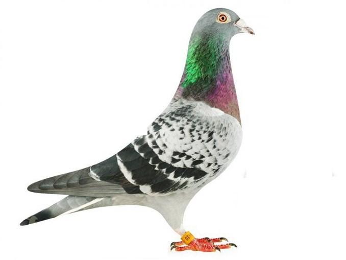 O pombo Armando foi vendido por mais de um milhão de euros