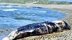 Três baleias mortas dão à costa em Esposende, Santo André e Aljezur