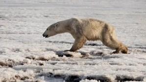 Alterações climáticas podem dizimar por completo os ursos polares até 2100