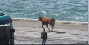 Bezerro tenta escapar à morte no porto de Setúbal
