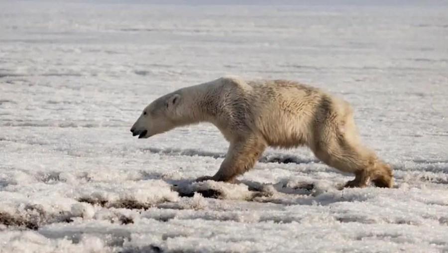 Urso polar exausto e com fome encontrado a 700 quilómetros de casa