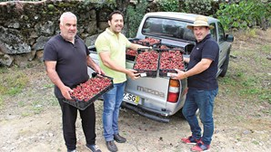 Produção das cerejas de Penajoia sobe 40%