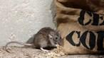 Praga de ratos está a destruir plantações e a horrorizar leste da Austrália