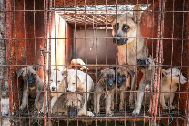 Mais de 60 cães resgatados por ativistas num matadouro na China