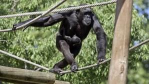 Angola enviou sete chimpanzés ao Santuário Natural de Tchimpounga no Congo