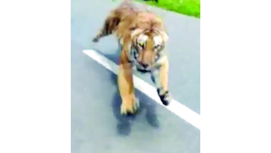 Tigre tenta apanhar motociclista na Índia