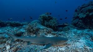 Estudo comprova que tubarões usam campo magnético da Terra para navegarem