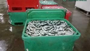 GNR aprende 670 quilos de sardinha em Ílhavo por fuga à lota