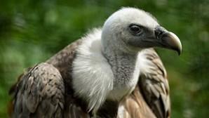 PJ da Guiné-Bissau detém homem que matava abutres para lhes arrancar a cabeça