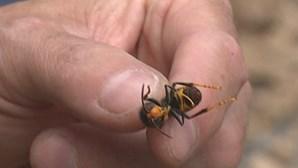 Ninho de vespas asiáticas obriga ao encerramento temporário dos jardins das Quintas das Conchas e dos Lilases em Lisboa