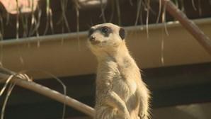 Sete suricatas são as mais recentes crias do Zoo de Lisboa