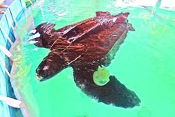 alimentação foi feita à base de medusas capturadas por pescadores de vila real de santo e barreiro.