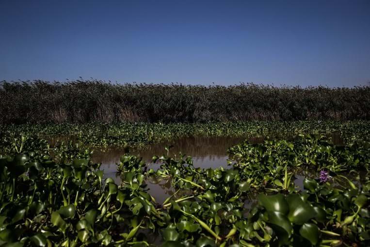 Manto verde deixa rio Sorraia intransitável