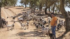 Dez mil cabras e ovelhas ajudam a travar incêndios no País