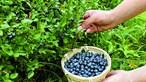 Consumo continuado de mirtilo tem um forte impacto no fígado, revela estudo português