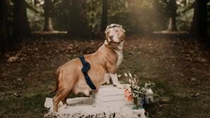 Cadela Pitbull resgatada 'brilha' em sessão fotográfica