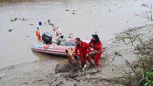 Cavalo em hipotermia salvo por bombeiros das águas lamacentas do Rio Sorraia