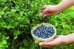 Exportação de mirtilos tem ajudado a balança comercial portuguesa na área alimentar a ficar menos desequilibrada