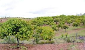 Castanheiros preenchem grande parte da paisagem natural de Vinhais