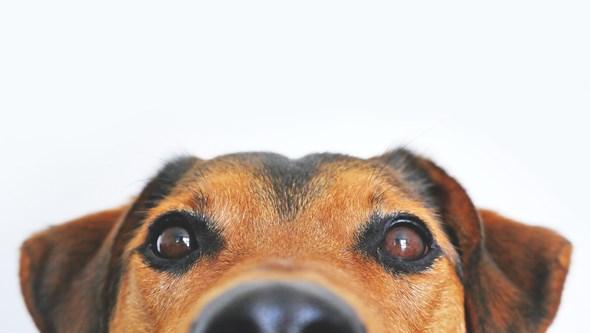 Quer um cão? Saiba qual o ideal para si