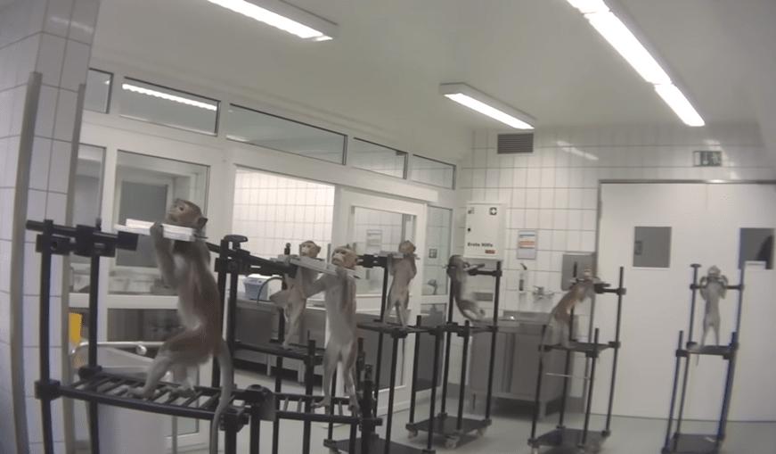 Macacos a gritar de dor e cães ensanguentados: as imagens perturbadoras de um laboratório de testes na Europa