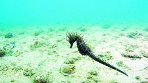 Cavalos-marinhos quase dizimados na ria Formosa