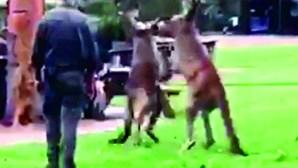 Cangurus lutam por 'namorada' na Austrália