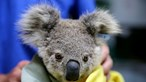 Mais de dois mil coalas mortos devido a incêndios florestais na Austrália