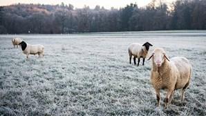 Jovem de 25 anos mata dez ovelhas com o carro em Abrantes