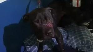 Cães colocados em arenas de combate e entregues à morte em esquema de apostas no Brasil