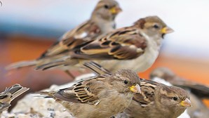 Uma em cada cinco espécies de aves da Europa está ameaçada, alerta Lista Vermelha